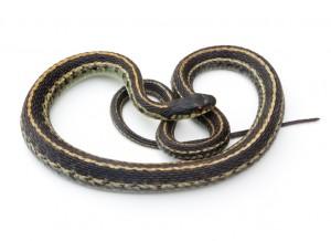 9.30.14 Garter Snake iStock_000016388184Small