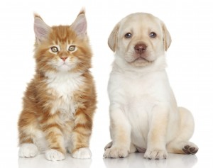 Maine Coon kitten and Labrador puppy on white background
