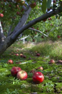 Fallen apples on the ground under a tree